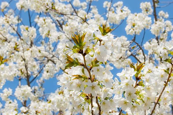 葉桜を撮影した爽やかなフリー写真素材