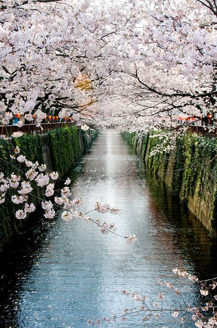 桜:目黒川沿い