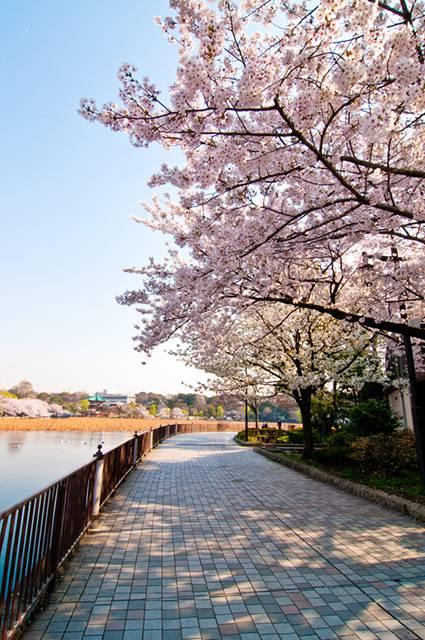 桜:不忍池