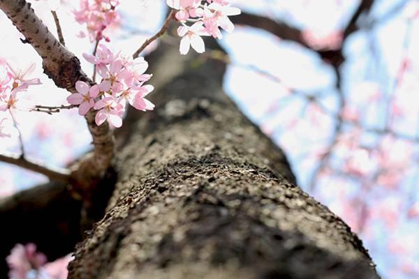 1012 桜14