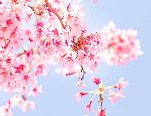 小春日和の桜を撮影した綺麗なフリー写真素材
