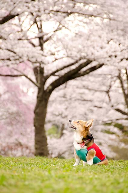 花よりワンコなお花見のフリー写真素材
