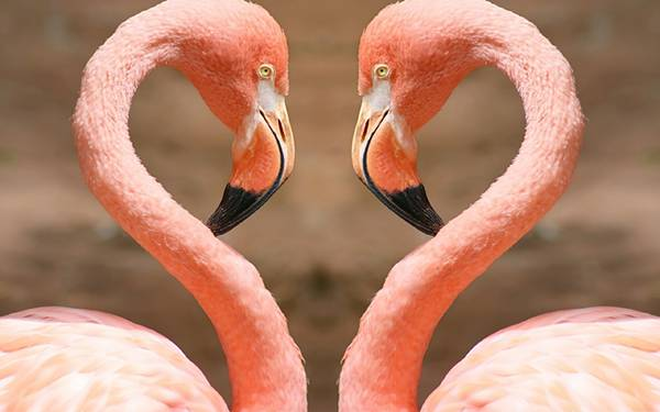 NAVER まとめ美しきピンクの群れ、フラミンゴの画像まとめ