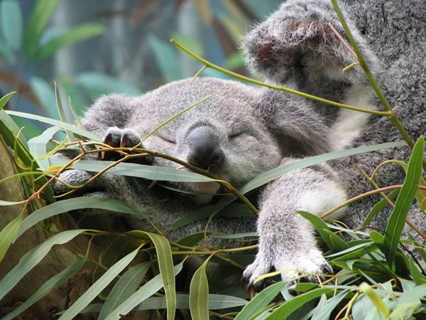 01.ユーカリの木の上で眠るコアラの可愛い写真壁紙画像