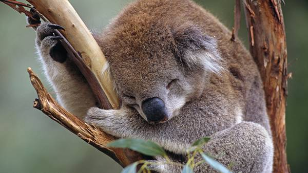 02.ユーカリの木に登ったまま眠るコアラの可愛い写真壁紙画像