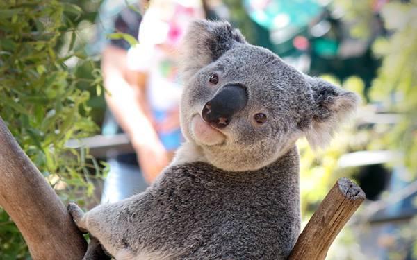 03.つぶらな瞳でこっちを見つめるコアラの可愛い写真壁紙画像