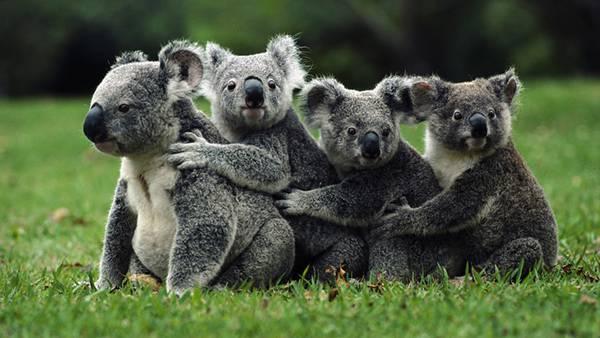 04.仲良く一列になって抱き合うコアラ達の可愛い写真壁紙画像