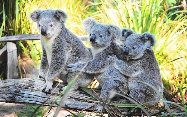 05.木の上に仲良く登った3匹のコアラを撮影した写真壁紙画像