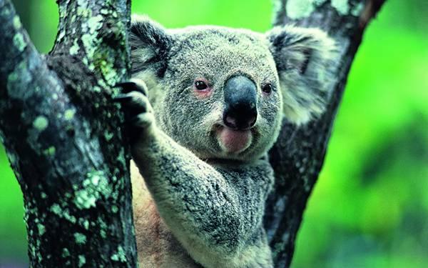 06.木の上からこっちを見つめるコアラを鮮やかな色合いで撮影した写真壁紙画像