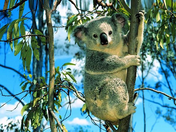 07.青空と木登りしたコアラを撮影した可愛い写真壁紙画像