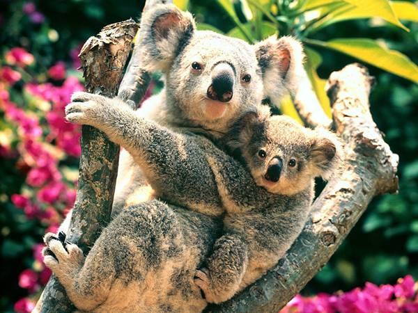 08.子供をおんぶするお母さんコアラを撮影した可愛い写真壁紙画像