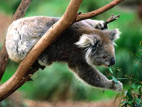 09.木の上からユーカリの葉をむしゃむしゃ食べるコアラの可愛い写真壁紙画像