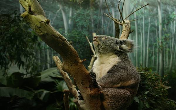 10.森の木の上の貫禄のあるコアラを撮影した写真壁紙画像