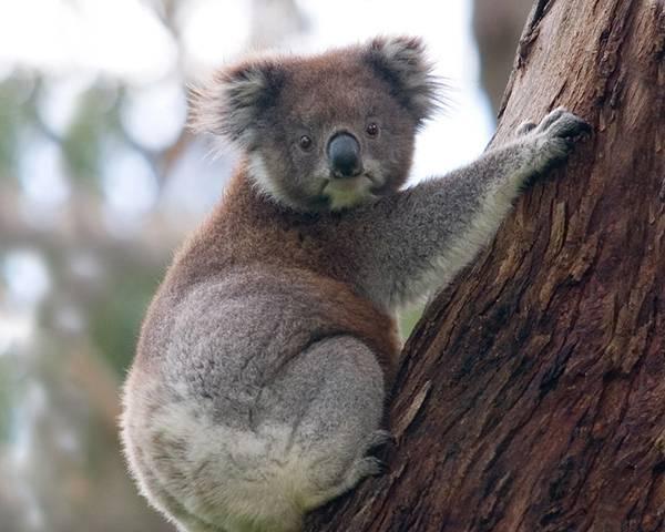 11.木の上から愛嬌のある表情でカメラを見つめるコアラの可愛い写真壁紙画像