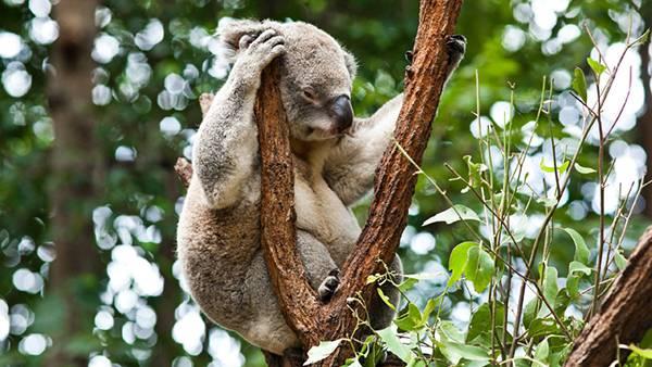 12.木の上で不機嫌そうな顔をしたコアラを撮影した写真壁紙画像