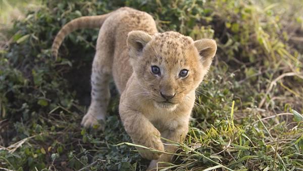 01.カメラに向かって歩いてくるライオンの赤ちゃんの可愛い写真壁紙画像