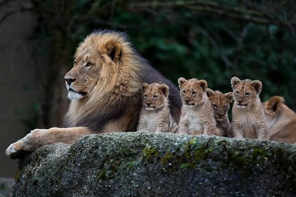 03.お父さんライオンとたくさんの子供達を撮影した可愛い写真壁紙画像