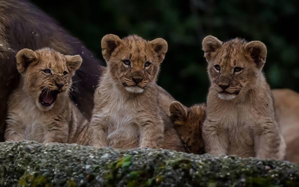 04.ライオンの子どもたちを撮影した綺麗な写真壁紙画像