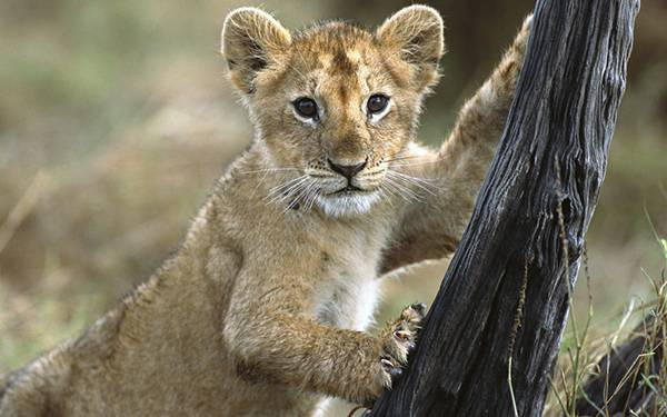 05.木に爪を立ててこっちを見つめる赤ちゃんライオンの可愛い写真壁紙画像