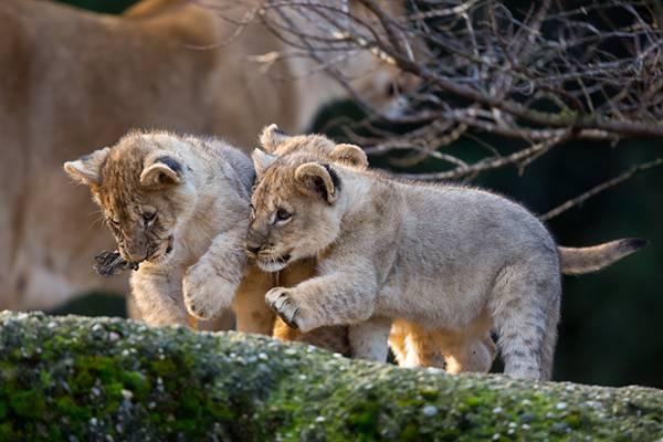 06.仲の良さそうな赤ちゃんライオン達の可愛い写真壁紙画像