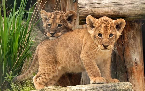 07.こっちを見つめる赤ちゃんライオンとその上にアゴを乗せるライオンの壁紙