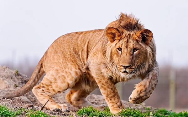 09.たてがみが伸びかけている子供のライオンを撮影したカッコイイ写真壁紙画像