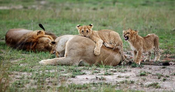10.お母さんライオンに甘える子供たちを撮影したのどかな写真壁紙画像