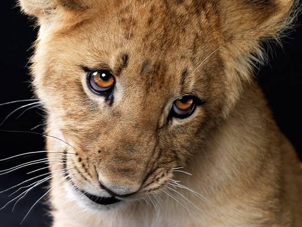 11.上目遣いで見つめるライオンの子を撮影した可愛い写真壁紙画像