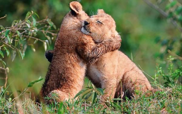 12.仲良さそうに抱きあうライオンの子供たちの可愛い写真壁紙画像