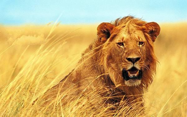 02.枯れた草原の中からこっちを見つめるライオンを撮影したかっこいい写真壁紙画像