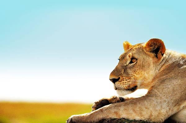 04.澄んだ青空をバックに雌ライオンを撮影した綺麗な写真壁紙画像