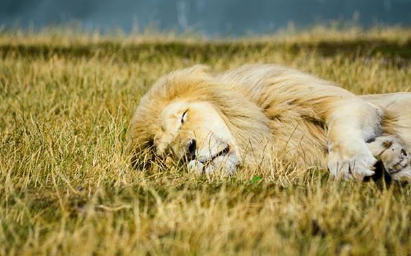 05.草の上に寝転んで眠るライオンを撮影した綺麗な写真壁紙画像