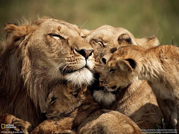 06.顔を寄せ合うライオンの家族を撮影した写真壁紙画像