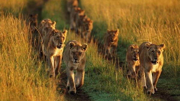 07.行列を作ってぞろぞろと歩くライオンの群れを撮影した写真壁紙画像
