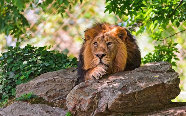 08.木陰の岩の上で休むライオンの綺麗な写真壁紙画像