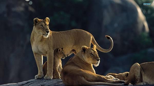 10.岩の上のライオンの群れを撮影したカッコイイ写真壁紙画像