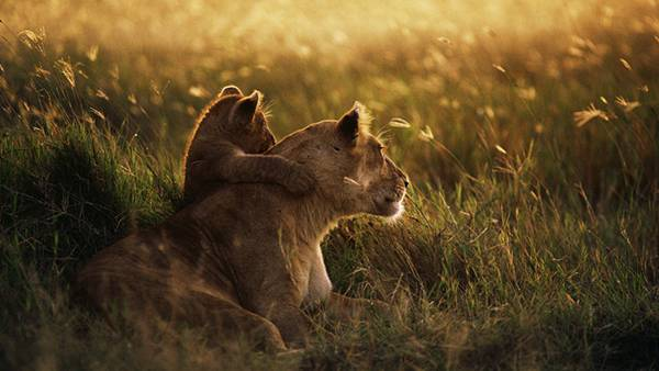 12.母ライオンの肩に手を乗せる子ライオンの写真壁紙画像