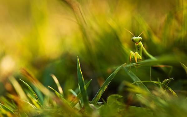03.草むらの中のカマキリを撮影した綺麗な写真壁紙画像