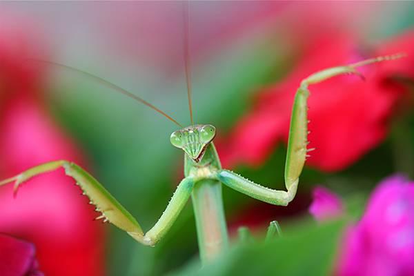 04.花の中で両手を大きく広げたカマキリの写真壁紙画像