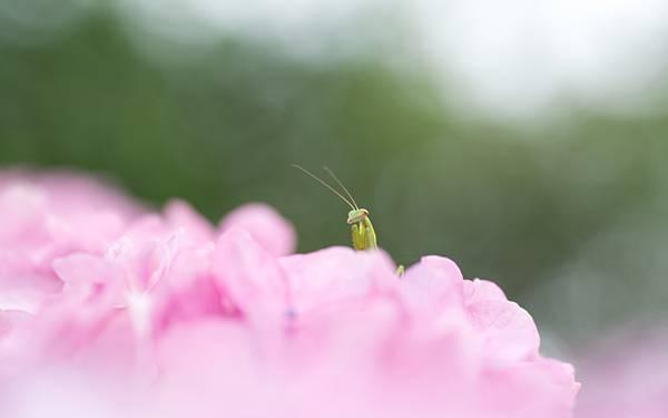 06.ピンクの花びらの中に身を隠すカマキリの綺麗な写真壁紙画像