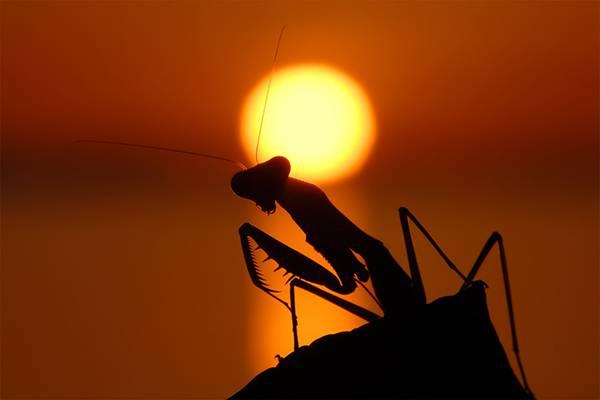 07.夕日の中のカマキリのシルエットを撮影した綺麗な写真壁紙画像