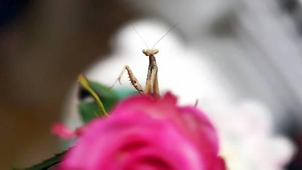 11.花の上のカマキリを浅い被写界深度で撮影した綺麗な写真壁紙画像