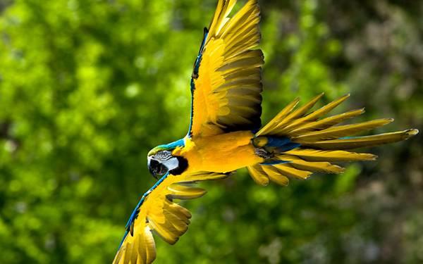 10.黄色い羽根を広げて飛ぶオウムを撮影したカッコイイ写真壁紙画像