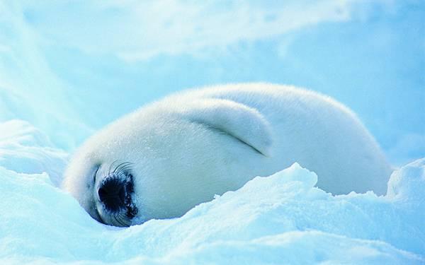 01.雪の上の真っ白なアザラシの赤ちゃんの可愛い写真壁紙画像