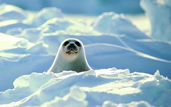 04.雪の間から顔をのぞかせる白いアザラシの可愛い写真壁紙画像