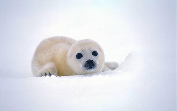 08.雪の上のふわふわのアザラシの赤ちゃんの可愛い写真壁紙画像