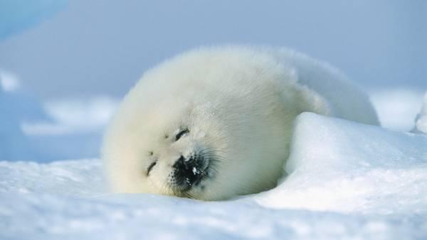 09.雪の上に転がって気持ち良さそうなアザラシの可愛い写真壁紙画像