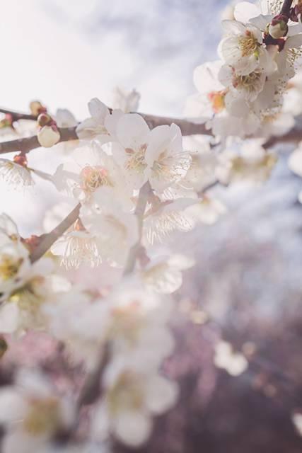 淡い光と梅の花のフリー写真素材