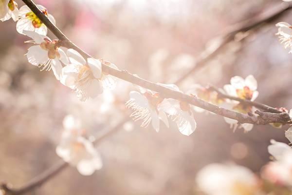 柔らかく暖かい日差しと梅の花の写真素材