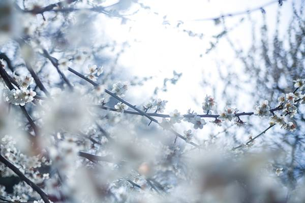 冷たい日差しと梅の花の写真素材